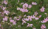 코스코스 꽃밭,충청북도 괴산군