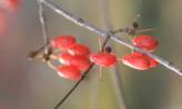 알알이 맺힌 산수유열매,경기도 이천시