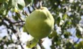 모과나무 아래서,부산광역시 동래구