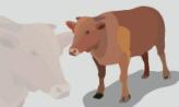 소 한 마리,강원도 횡성군
