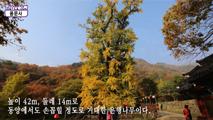 은행나무 유명한 양평 용문사,경기도 양평군