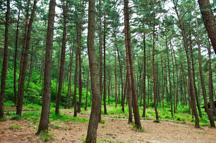 해송 가득한 녹색 쉼터, 희리산해송자연휴양림,충청남도 서천군