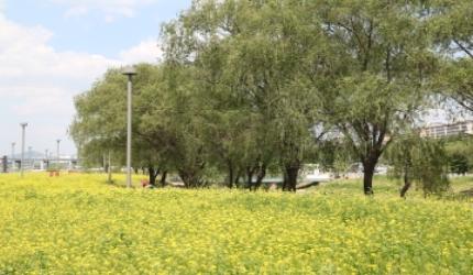 유채꽃 한가득, 바퀴는 씽씽, 한강 데이트,서울특별시 서초구