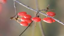 알알이 맺힌 산수유열매