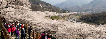 쌍계사 벚꽃축제가 열리는 하동