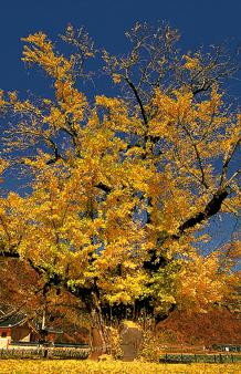 천연기념물, 의령 은행나무