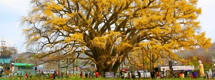 장수동의 장수한 은행나무