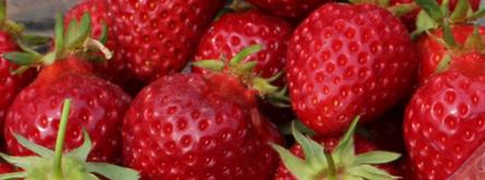 빠질 수 없는 봄철 딸기