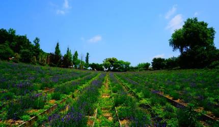 여름날 향기로운 허브 밭을 거닐다, 허브빌리지,경기도 연천군