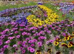 음성군새봄맞이꽃큰잔치,지역축제,축제정보