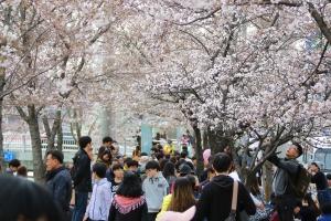 안양충훈벚꽃축제,지역축제,축제정보