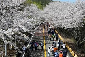 장봉도 벚꽃축제,인천광역시 옹진군,지역축제,축제정보