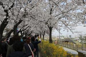 영등포 여의도 봄꽃축제,서울특별시 영등포구,지역축제,축제정보