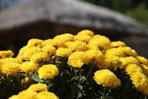 인천 월미공원 국화축제,국내여행,음식정보