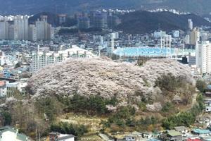 테미공원봄꽃축제,대전광역시 중구,지역축제,축제정보