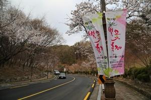 팔공산벚꽃축제,대구광역시 동구,지역축제,축제정보
