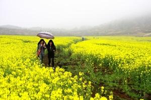 제주유채꽃축제,제주특별자치도 서귀포시,지역축제,축제정보