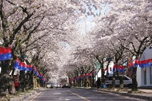 제주왕벚꽃축제,제주특별자치도 제주시,지역축제,축제정보