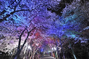 도당산벚꽃축제,경기도 부천시,지역축제,축제정보