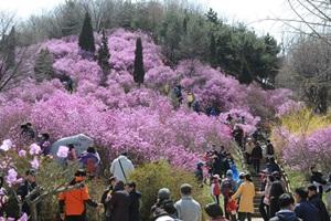 원미산진달래축제,경기도 부천시,지역축제,축제정보