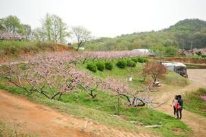 춘덕산복숭아꽃축제,경기도 부천시,지역축제,축제정보