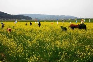 맹방유채꽃축제,강원도 삼척시,지역축제,축제정보