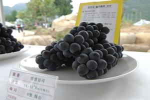 김삿갓 포도축제,강원도 영월군,지역축제,축제정보