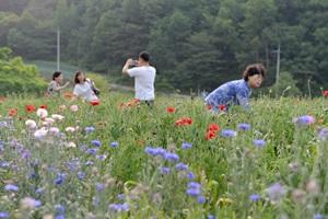 용수골 꽃양귀비축제,강원도 원주시,지역축제,축제정보