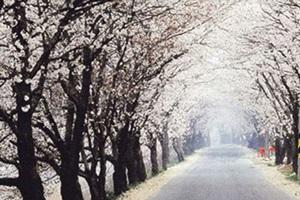 소양벚꽃길행사,전라북도 완주군,지역축제,축제정보