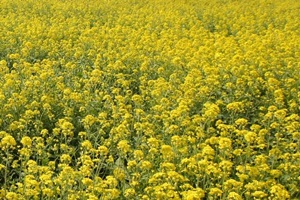 만석보유채꽃축제,전라북도 정읍시,지역축제,축제정보
