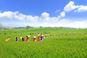 고창청보리밭축제,지역축제,축제정보
