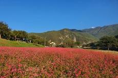영월의 새로운 가을명소, 붉은메밀밭이 더욱 화려해진다!, 국내여행, 여행정보