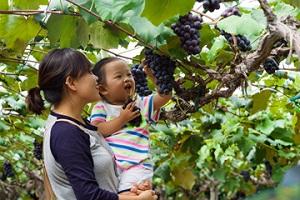 짙어가는 와인 향기 속으로 '영동 주곡마을',국내여행,음식정보