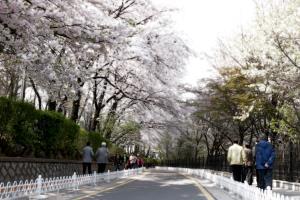 벚꽃을 입은 자유공원, 한 마리 백조가 되어 날다,인천광역시 중구
