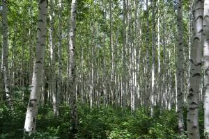 순백이 주는 향연 찾아 떠나는 '속삭이는 자작나무숲',강원도 인제군