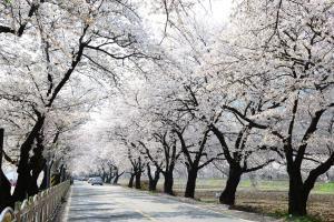 그 어디를 둘러봐도 온통 벚꽃, 옥포벚꽃길,대구광역시 달성군