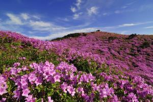 하늘과 가까운 진분홍 철쭉의 향연, 합천 황매산철쭉제,경상남도 합천군