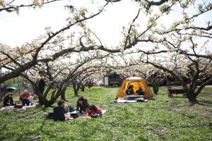 봄의 전령사, 벚꽃 말고 복사꽃이 활짝! 세종조치원복숭아봄꽃축제 ,세종특별자치시