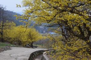 노란 산수유 꽃등 타고 오는 띠띠미마을의 봄,경상북도 봉화군