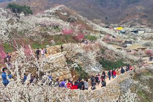 제21회 광양매화축제 상복(賞福) 터져, 최초 3관왕 달성 기염