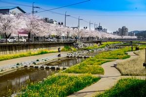 덕곡천 벚꽃과 유채꽃 만개, 국내여행, 여행정보