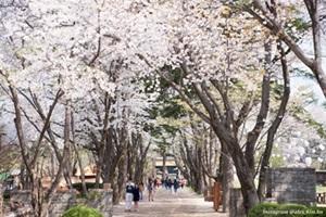 남이섬 벚꽃은 지금이 절정! 수줍은 벗(友)들의 향연, 국내여행, 여행정보