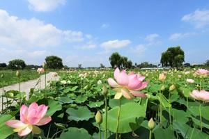 당진 합덕제 여름날 연꽃 만개, 국내여행, 여행정보