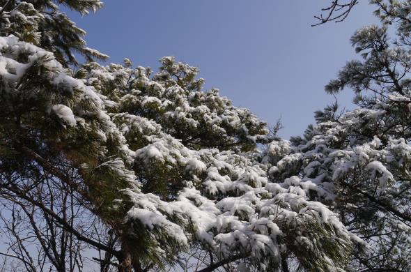 눈이 내려앉은 소나무.