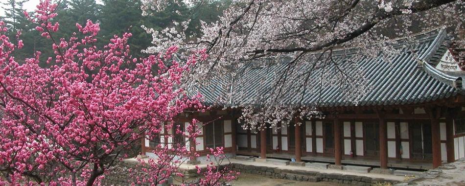 천년고찰 내소사 앞마당에도 봄이, 꽃이