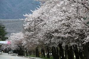 소양강댐 벚꽃 휘날리는 물길을 아시나요?,강원도 춘천시