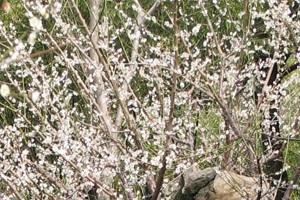 봄날의 설렘을 담다, 매화가 핀 광양,전라남도 광양시