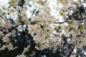 가슴 설레는 봄꽃길, 인왕스카이웨이,서울특별시 종로구