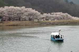 늦깎이 벚꽃, 진안 마이산에 피어나다 ,전라북도 진안군
