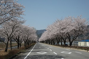 달려는 봤니? 합천 백리벚꽃길,경상남도 합천군